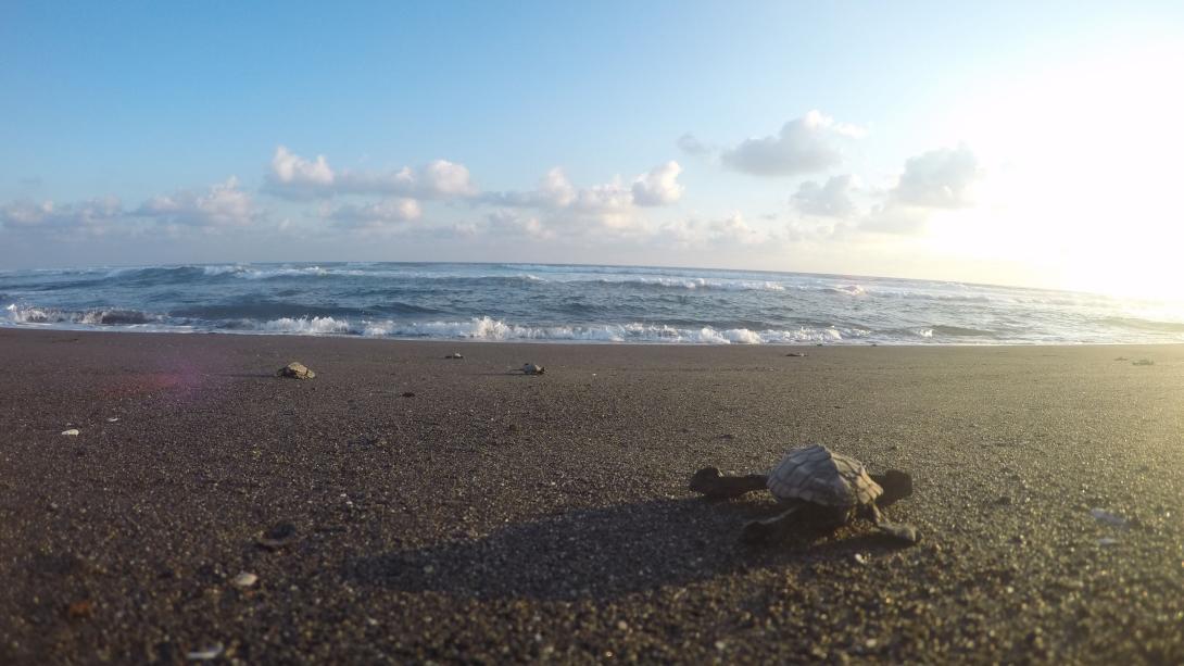 Tortuga marina siendo liberada al océano en nuestro voluntariado con tortugas marinas en México.